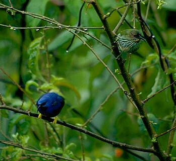 Image of Honeycreepers on a branch